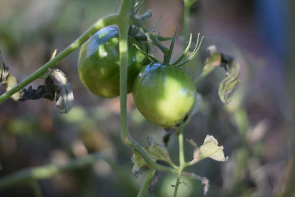 two green tomatoes on a vine