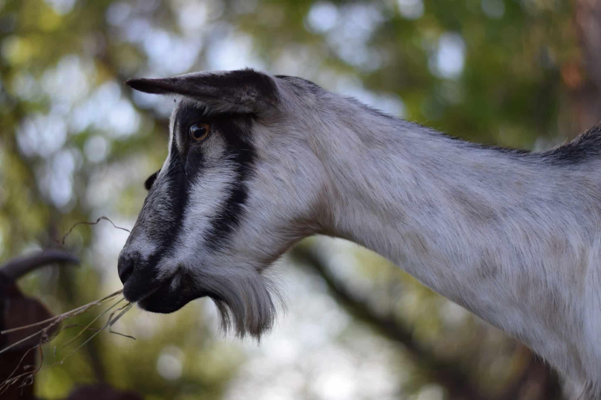 alpine goat outside eating hay