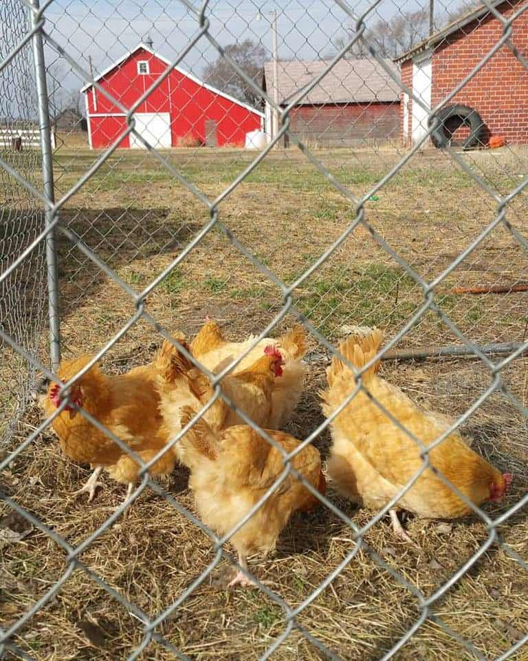 Why We No Longer Free Range (and what we are doing instead)