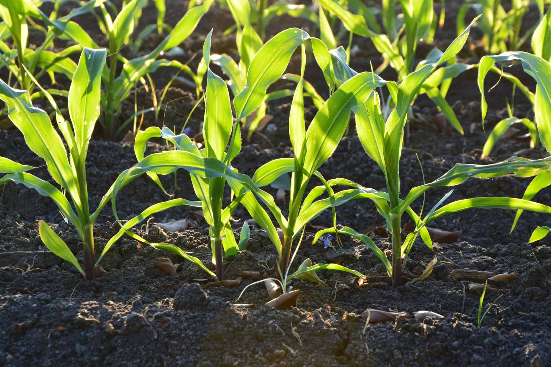 corn stalks sprouting up from ground