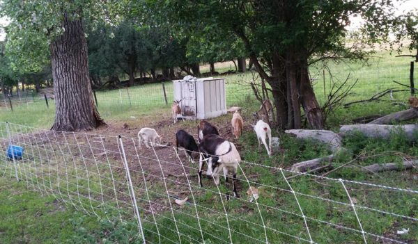 goats grazing in yard with electric fence