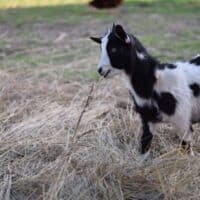 Are Goats Browsers or Grazers?