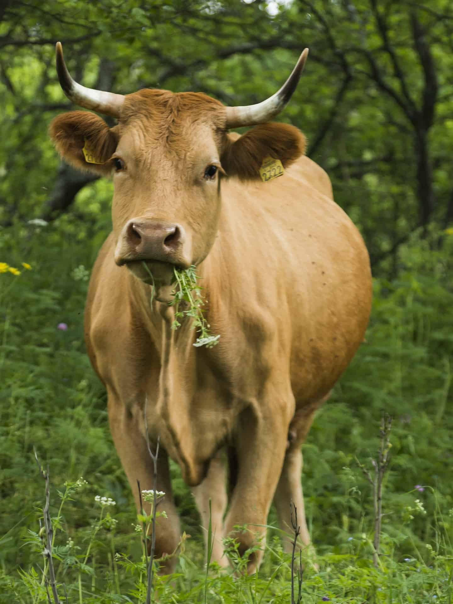 brown cow eating grass in a pasture