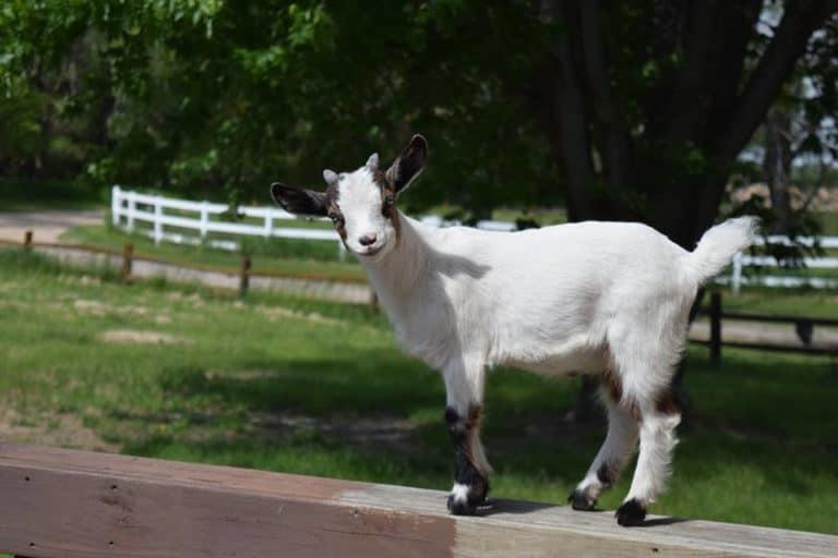 pygmy goat standing on deck railing
