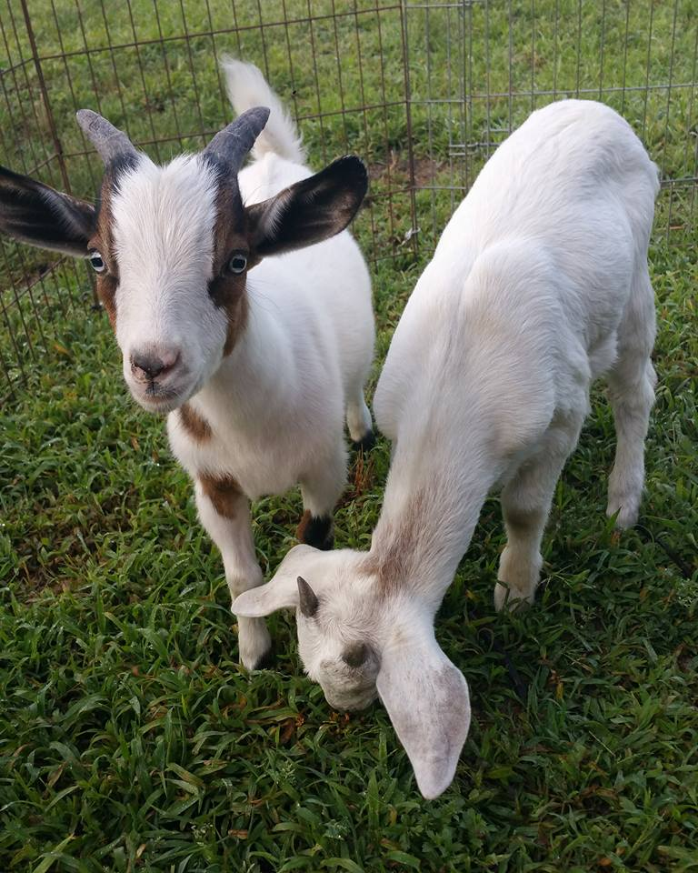 two baby pygmy goats in a fenced in run