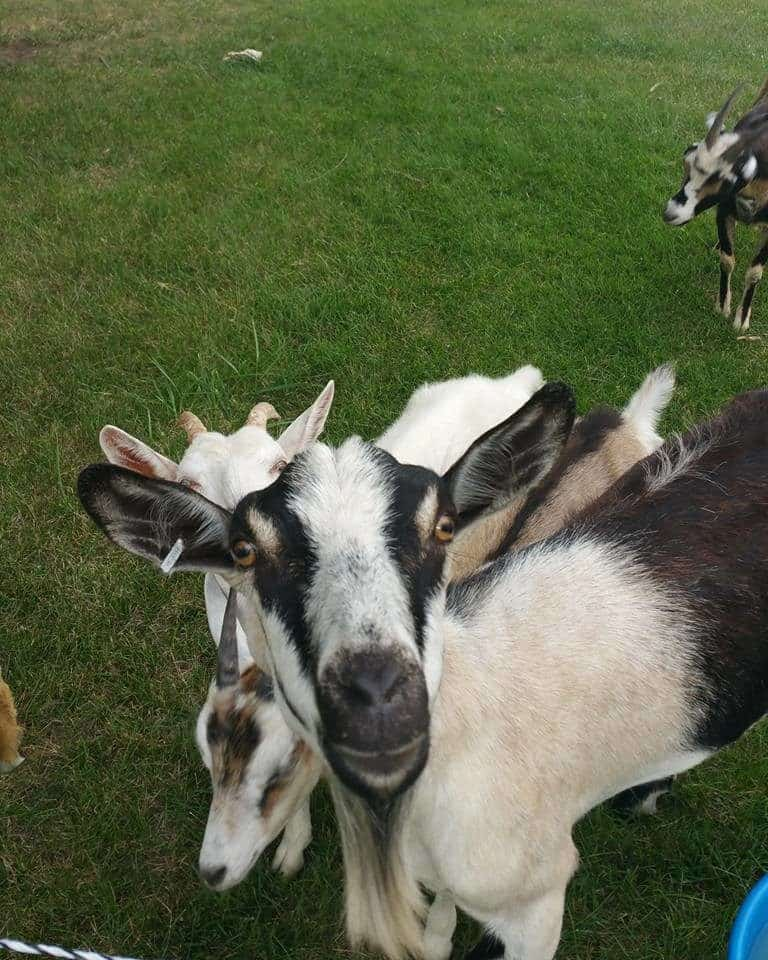 10 Reasons Why Goats Are Awesome