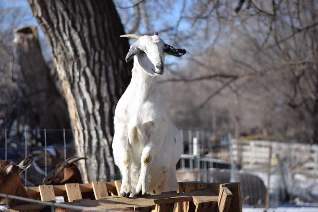 goat standing on feeder