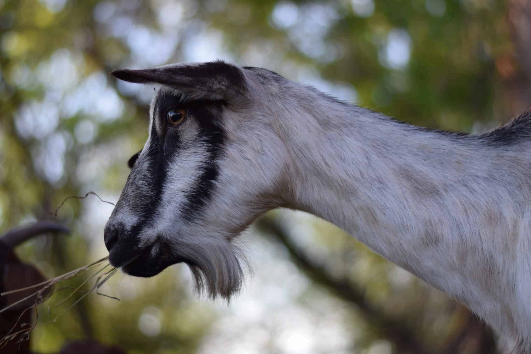 Why Every Homestead Needs Goats (10 reasons why goats are awesome)