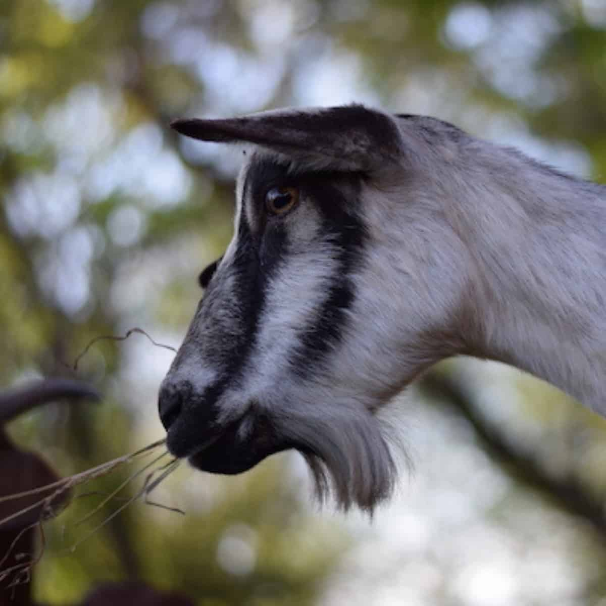 side face view of an alpine goat
