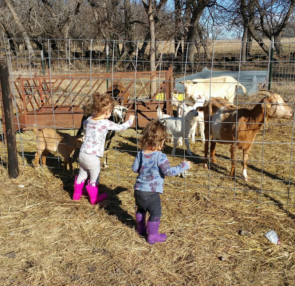 two little girls feeding goats