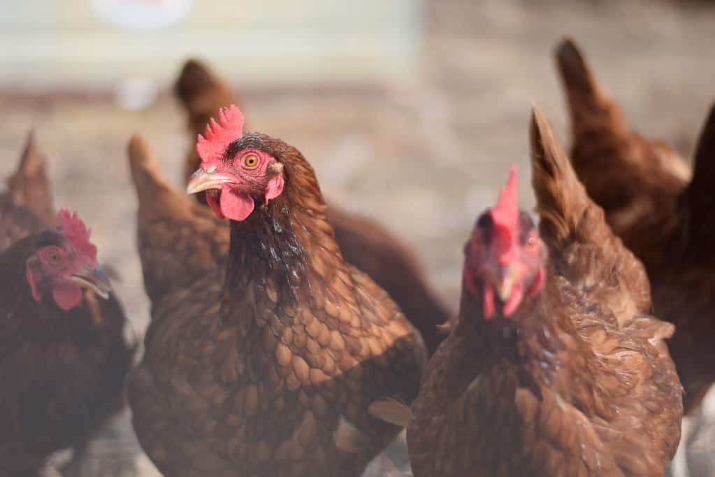 group of chickens outside in a run