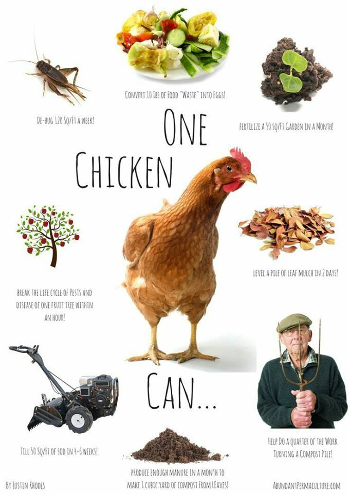 info graph with what chickens can do for you
