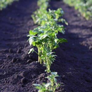 vegetables sprouting in garden bed