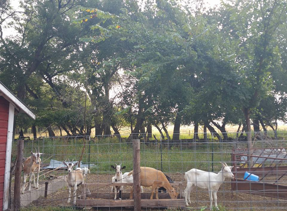 group of goats in an outdoor pen