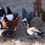 The Benefits of Keeping a Variety of Fowl on the Homestead