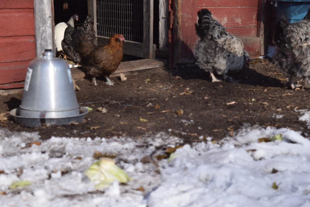 chickens in a coop door