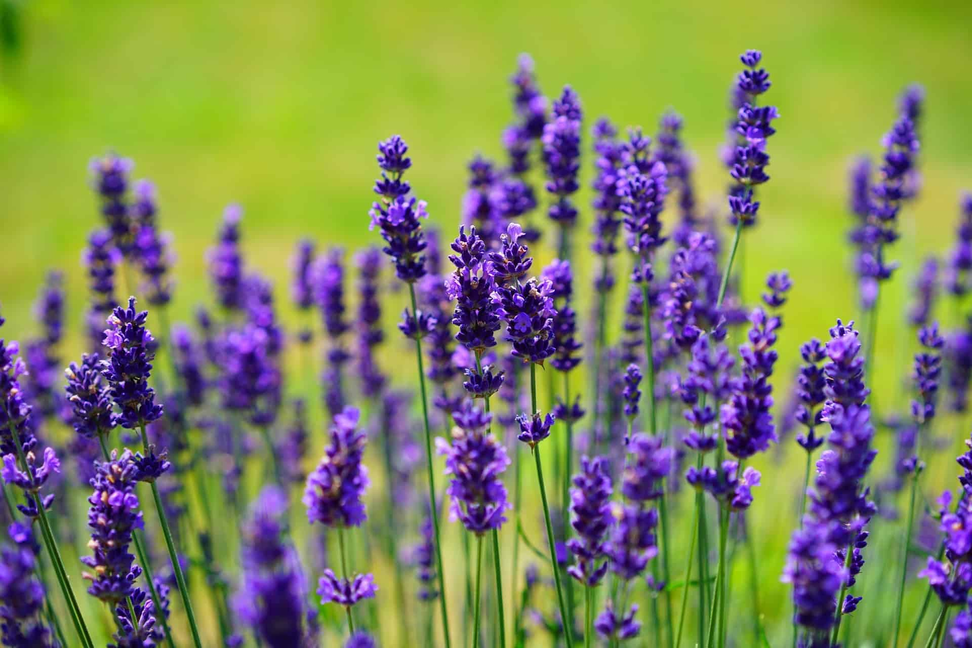 lavender herbs in a field