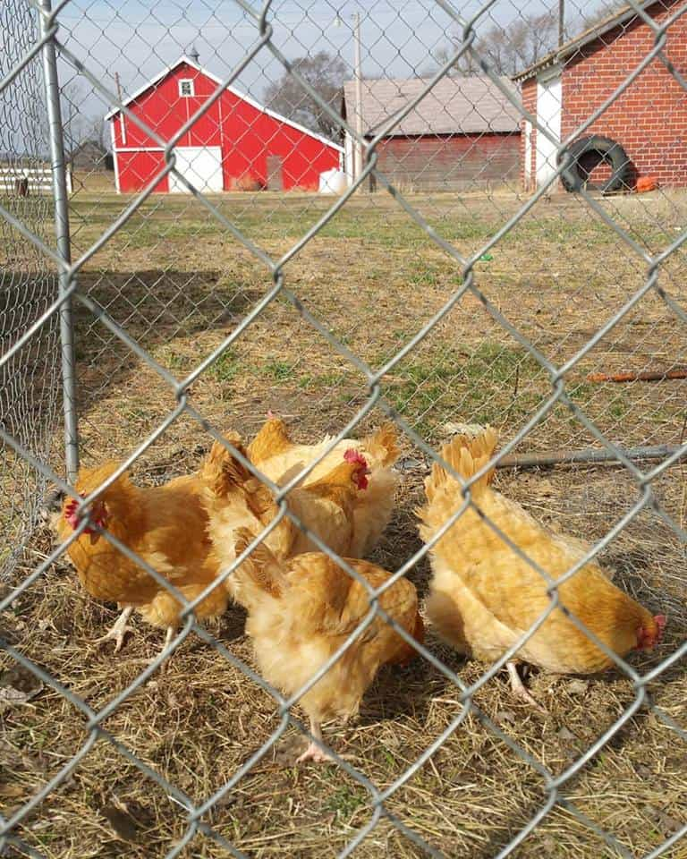 group of chickens inside of fenced in run