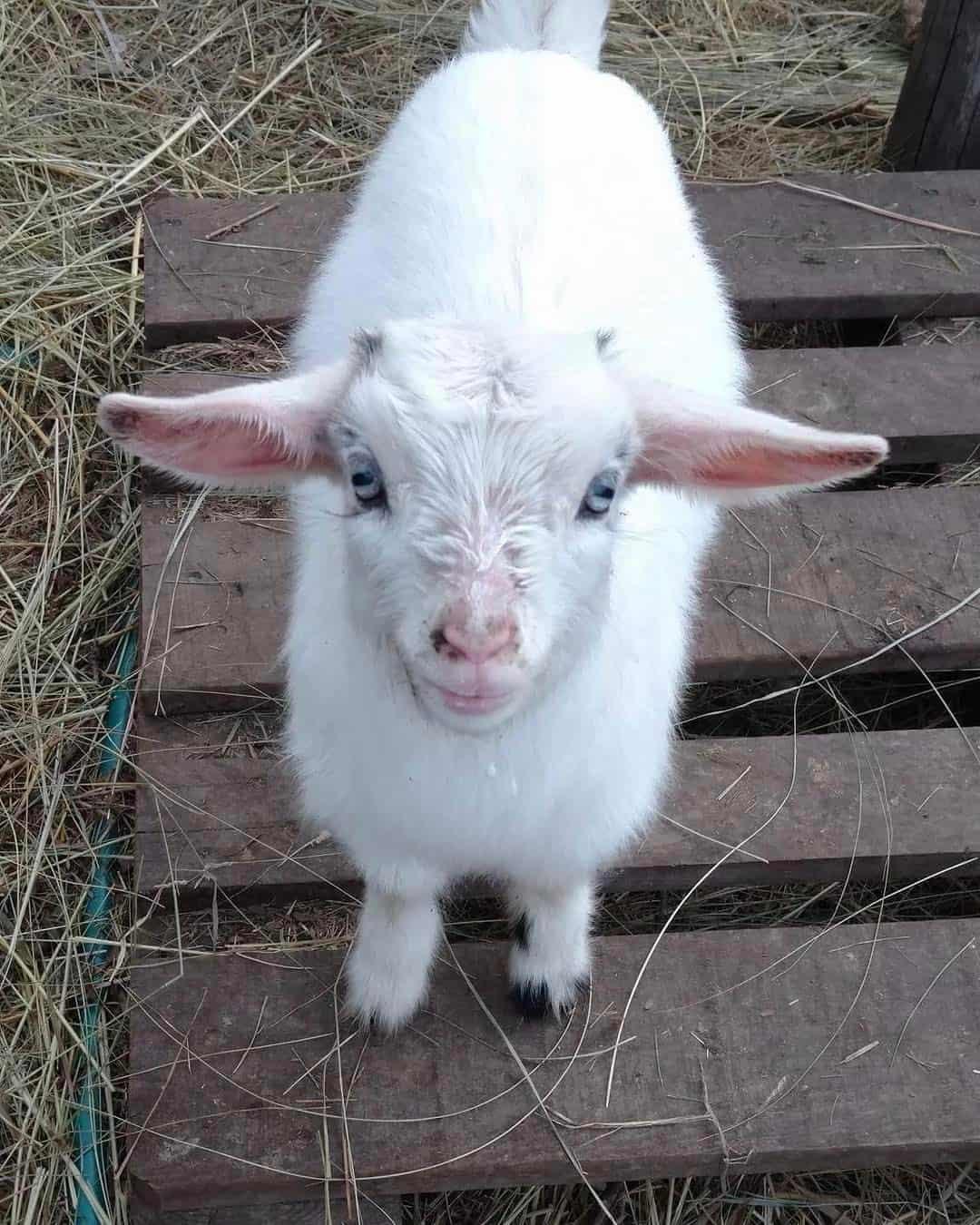 tiny baby pygmy goat standing on a pallet