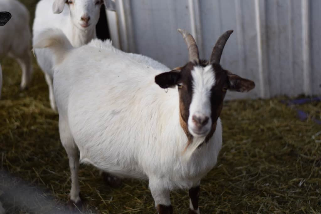 pregnant goat standing next to a goat shelter