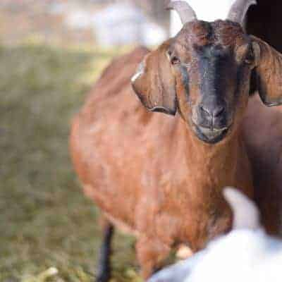 Pregnancy and Postpartum Goat Care