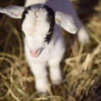 Guide to Baby Goat Care