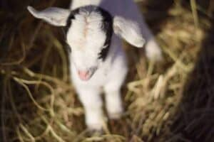 The Essential Baby Goat Care Info You Need to Know!
