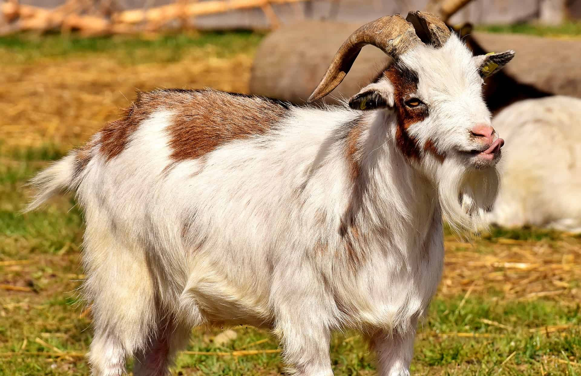 male goat wagging tongue as a sign of being in rut