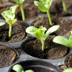 seedlings sprouting up