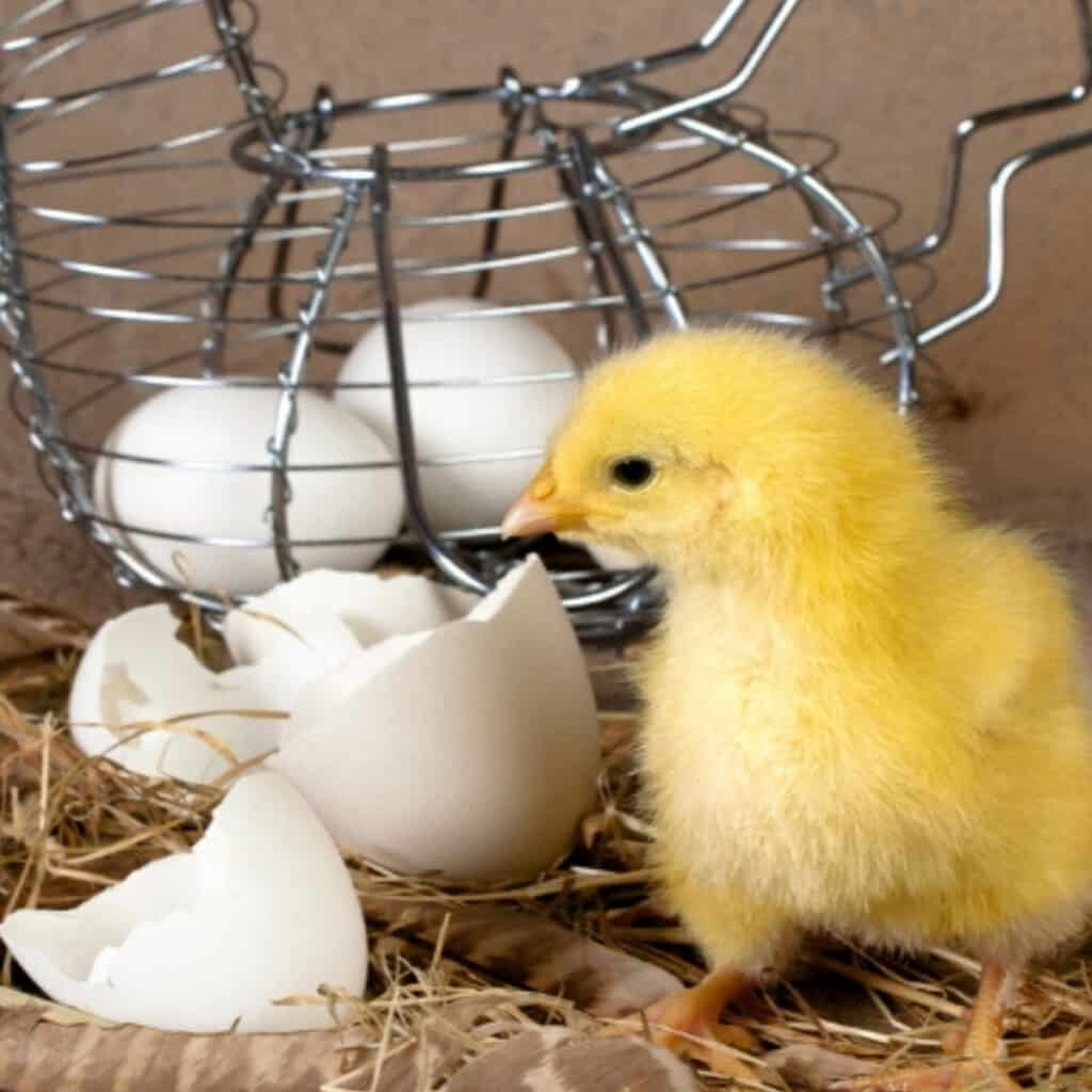 newly hatched chick and basket of eggs