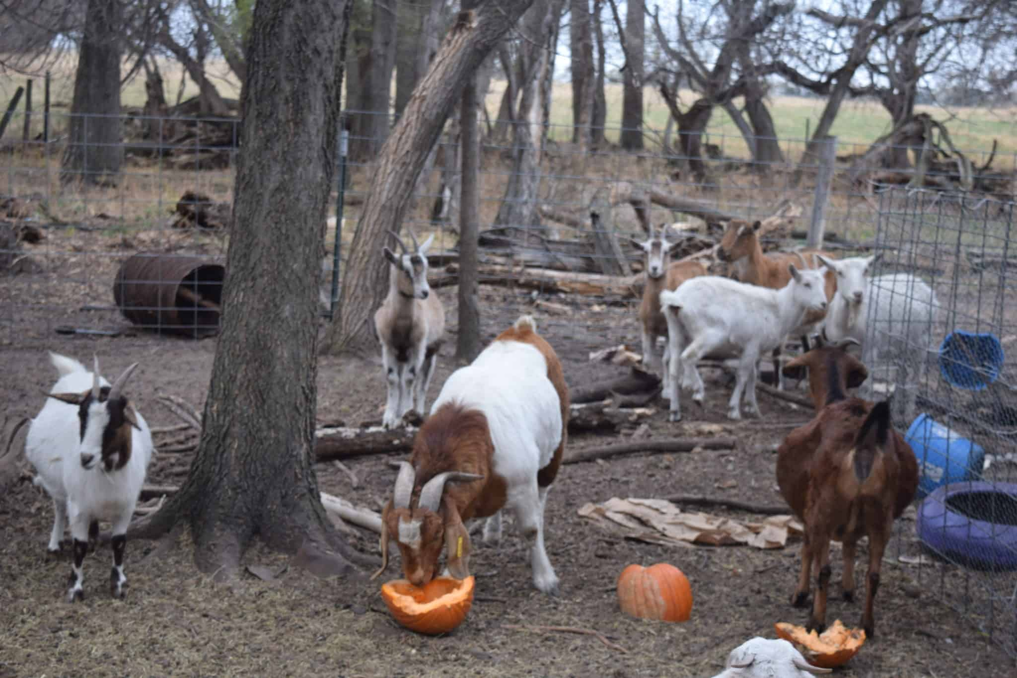 goats in outdoor pen and eating a pumpkin