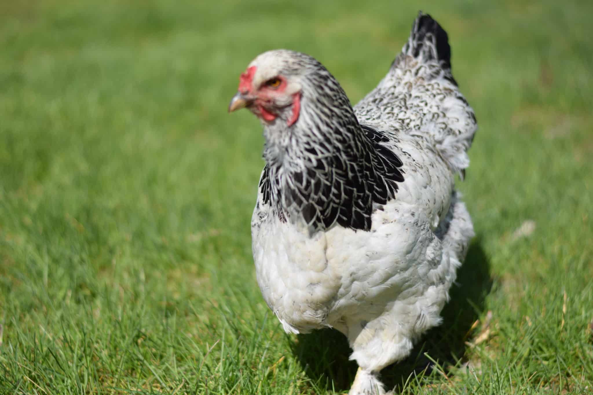 brahma chicken walking in a grassy lawn