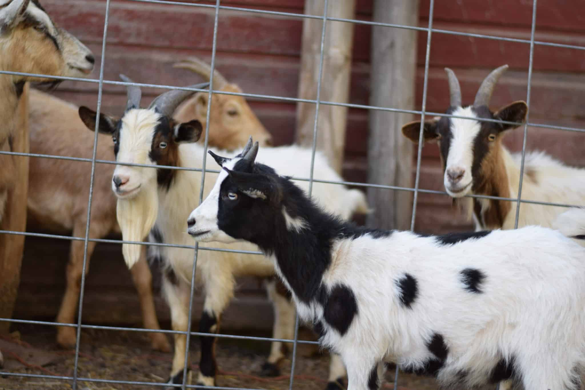group of goats in a fenced in pen outside