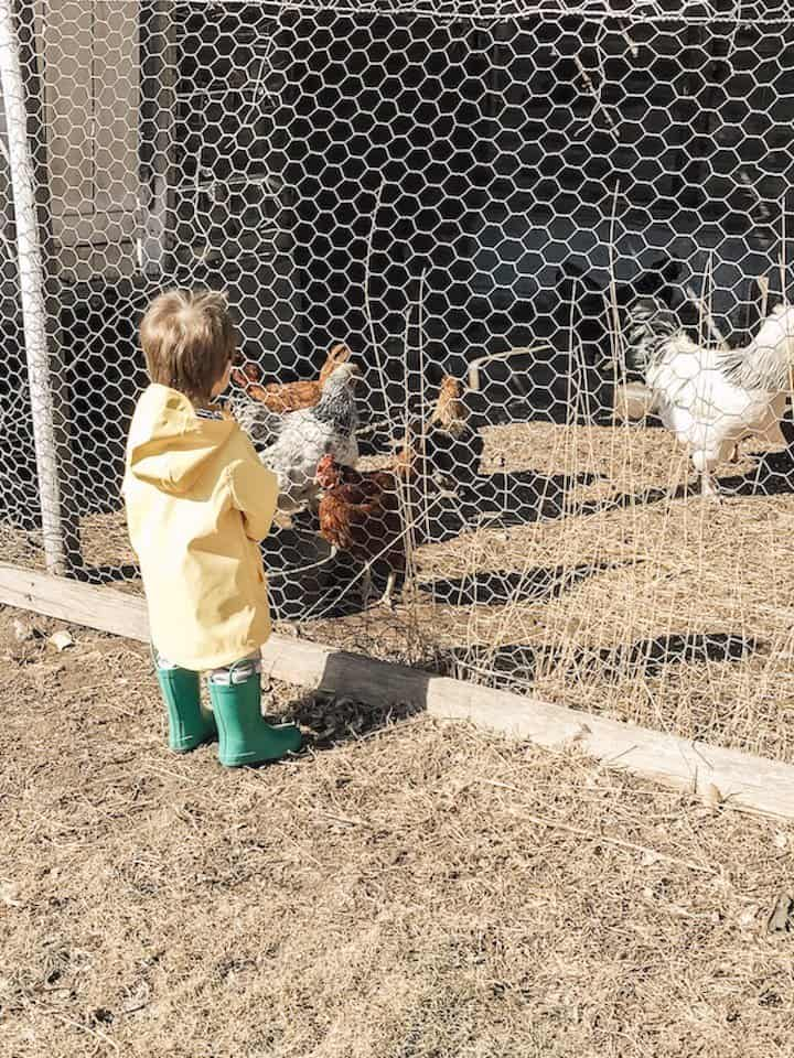 living without tv on the farm, little boy is visiting the chicken coop