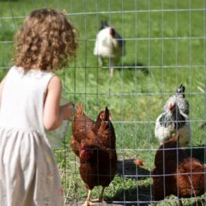 little girl feeding treats to the chickens