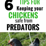 tips for keeping chickens safe from predators