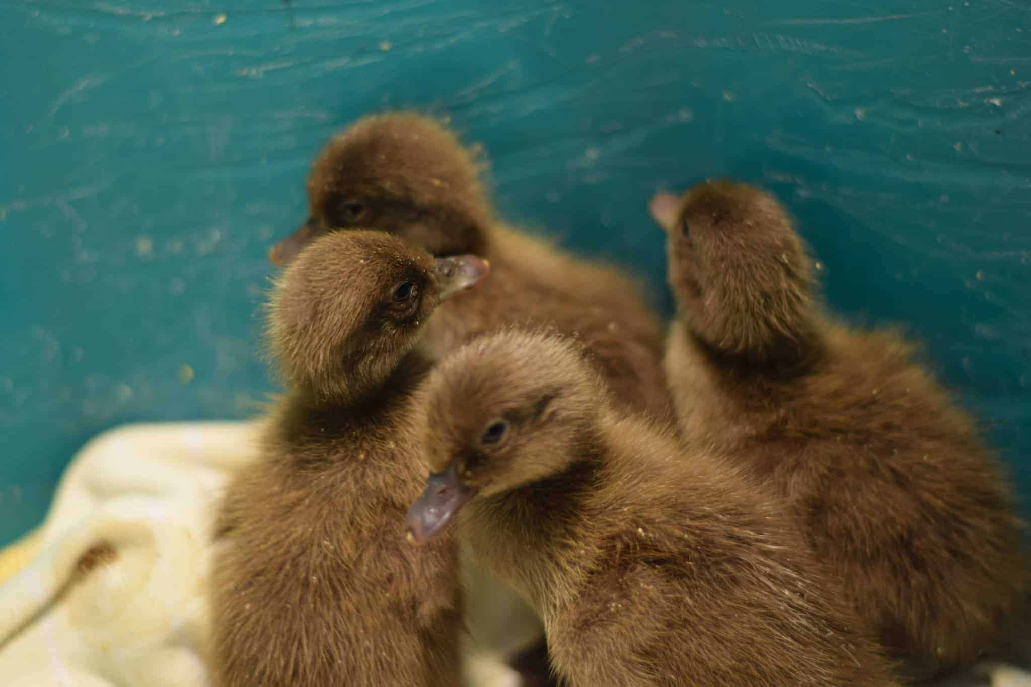 newly born baby ducks in a green tote