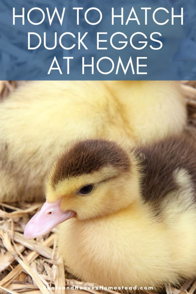 ducklings hatched at home