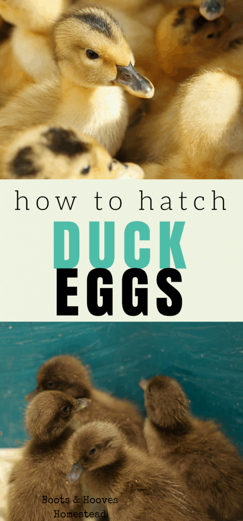 how to hatch duck eggs