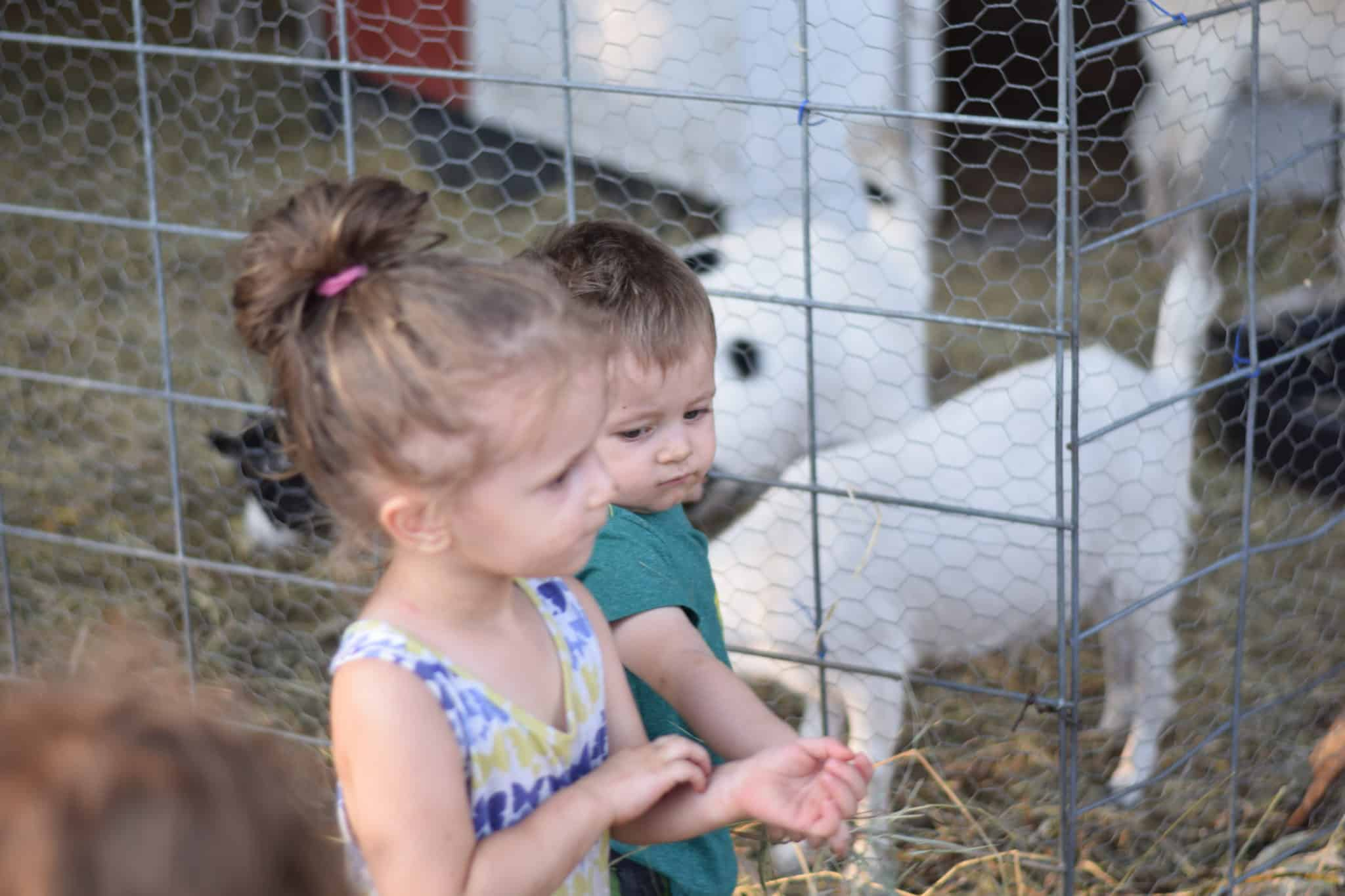 two little children feeding hay to goats
