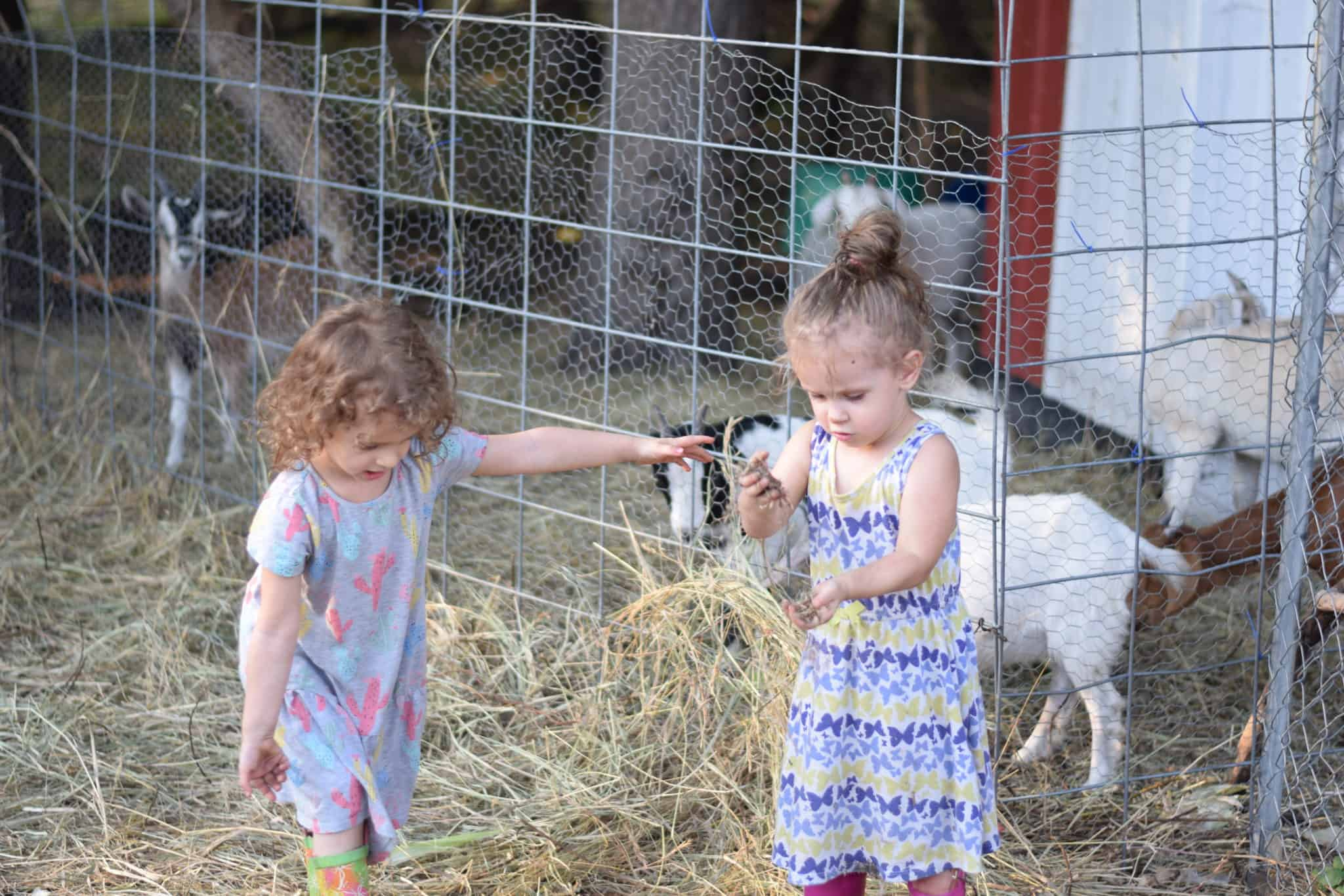 two little girls feeding goats hay