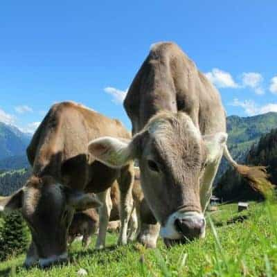 Keeping Livestock Safe from Poisonous Plants