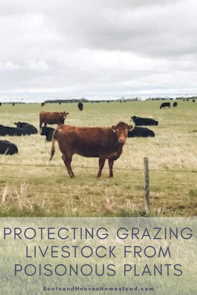 grazing cattle in pasture