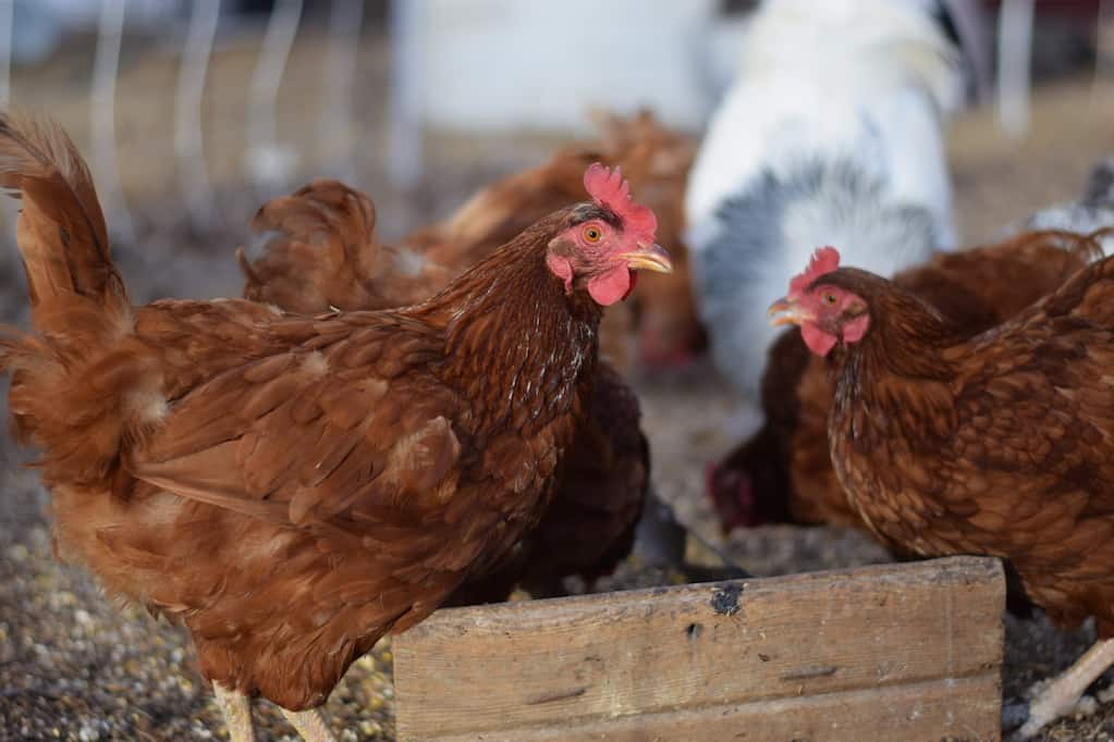 beginner's guide to getting started with raising chickens