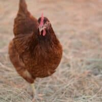 Raising Chickens: The Basics