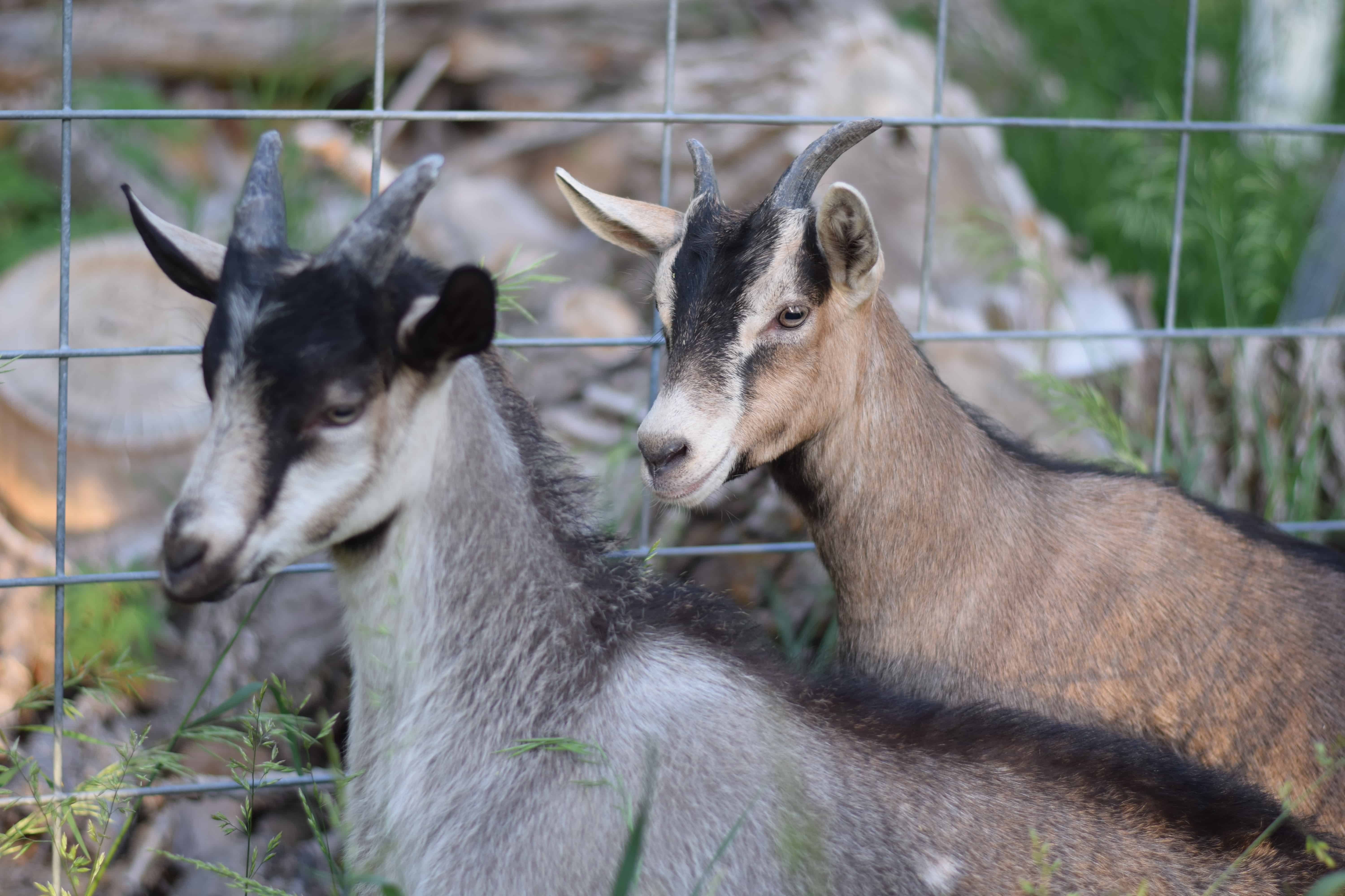 two goats standing next to a fence