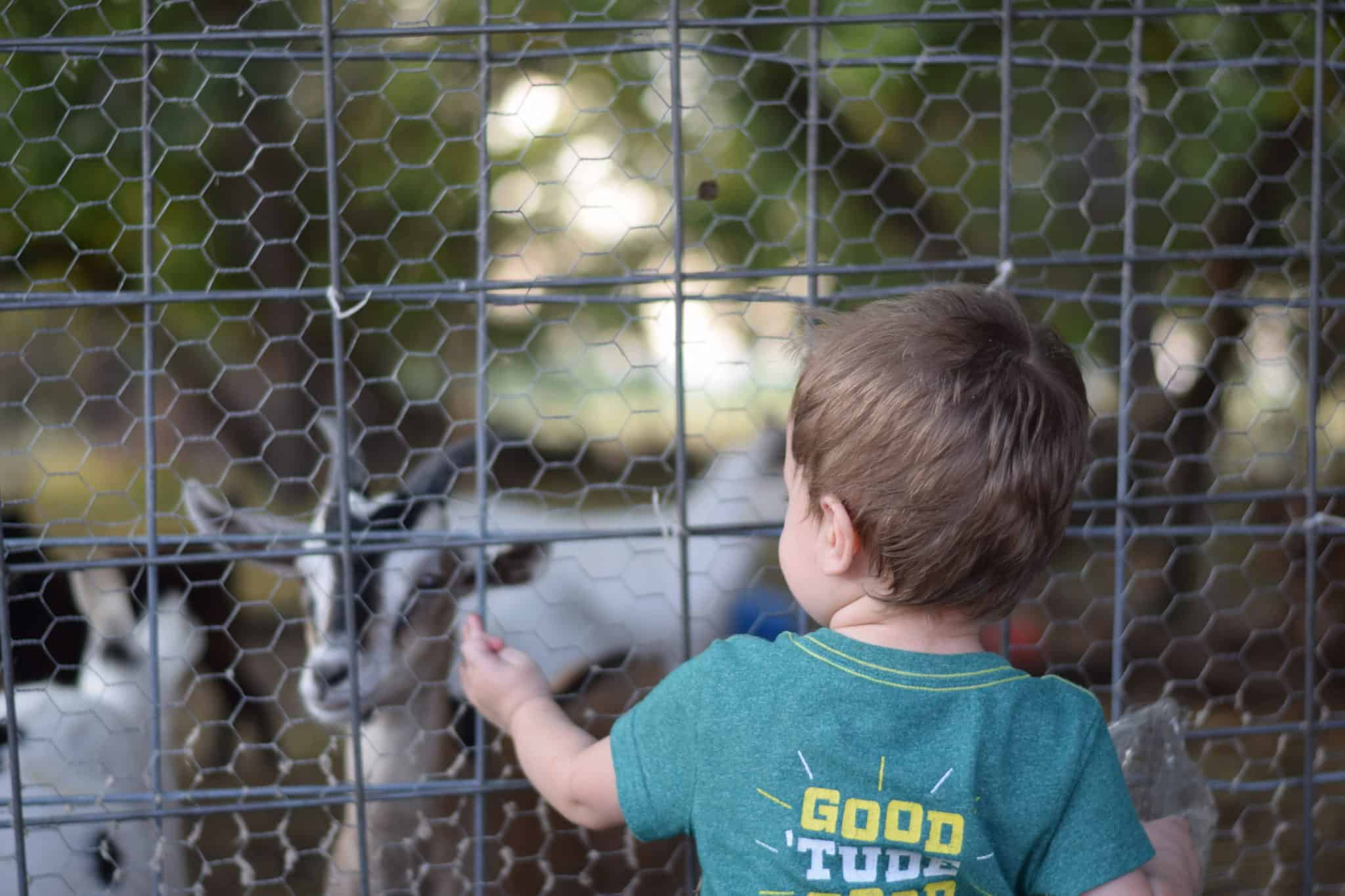 little boy looking through fence at goats