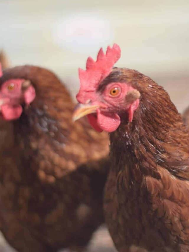 two Rhode Island Red chickens
