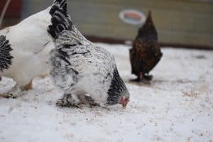 The ultimate winter chicken keeping guide