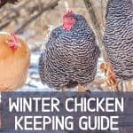 raising chickens in the winter
